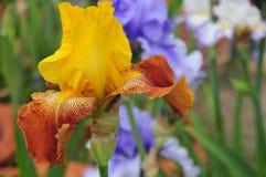 Iris Garden Series - Yellow And Brown Bearded Iris On Eagles Wings Stock Photo