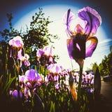 Iris gegen die Sonne Lizenzfreie Stockbilder