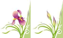Iris. This gentle, lightness and stylish image of the flower can be used to design presentations, like a postcard or poster. In a raster or vector form Royalty Free Stock Images
