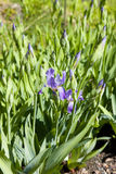 Iris germanica Royalty Free Stock Photography