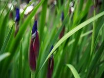 Iris Germanica Bud pourpre Photo libre de droits
