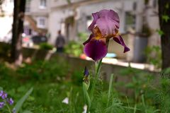 Iris germanica. City lungs for people`s health. Greenery of the urban courtyard. Iris germanica. City lungs for people`s health. Ways to prevent soil erosion in Stock Photography