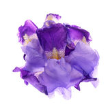 Iris germanica Stock Image