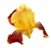 Iris germanica Stock Image