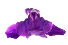 (Iris germanica) Royalty Free Stock Image