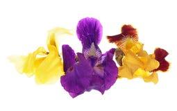 (Iris germanica) Royalty Free Stock Photo