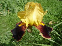 Iris germanica 'Country Charm' wine yellow flower.  Royalty Free Stock Photography