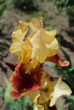 Iris germanica `Country Charm` wine yellow flower Stock Image