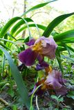 Iris germanica flowers and leaves in urban garden in city yard.  stock photo