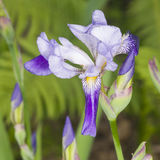Iris Germanica, purple flower and bud on stem at flowerbed closeup, selective focus, shalow DOF Stock Photo