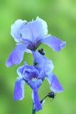 Iris germanica Royalty Free Stock Photo