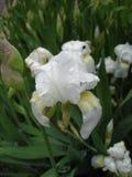 Iris germanica weiße Knospen und Blume an einem regnerischen Tag Lizenzfreie Stockfotos