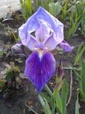 Iris germanique Images stock