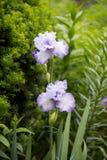 Iris germanique photos libres de droits