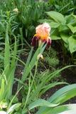 Iris germanique avec un rose et fleur pourpre photos stock
