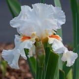 Iris germanique, barbata d'iris photo libre de droits