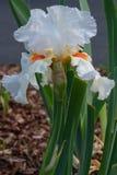 Iris germanique, barbata d'iris image libre de droits