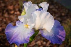 Iris germanique, barbata d'iris photos stock