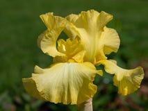 Iris germanique, barbata d'iris image stock