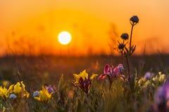 Iris in grass on sunset stock photos