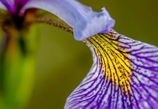 Iris The Greek Goddess Of The Rainbow. Close-up of a purple and yellow Iris petal Royalty Free Stock Photos