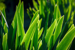 Iris Green Leaves Lizenzfreie Stockbilder