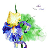 Iris with green watercolor background-01 royalty free illustration