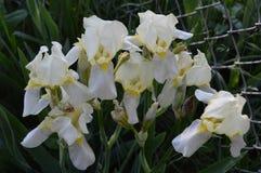 Iris Group amarilla en la floración Fotos de archivo libres de regalías