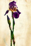 Iris on grunge paper. Antique textured grunge vintage image of a beautiful purple Iris on aged paper Royalty Free Stock Image