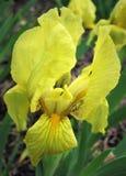 iris Gul blomma tecknad iris för blommahandillustration Royaltyfri Bild