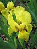 iris Gul blomma tecknad iris för blommahandillustration Fotografering för Bildbyråer