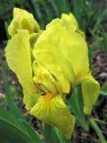 iris Gul blomma tecknad iris för blommahandillustration Royaltyfria Bilder
