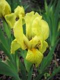 iris Gul blomma tecknad iris för blommahandillustration Arkivbilder