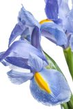 iris Härlig blomma på ljus bakgrund Arkivbild