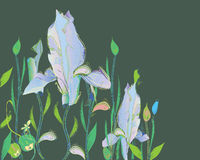 Iris hand drawn Royalty Free Stock Photos