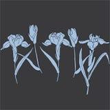 Iris Hand drawn sketched  illustration. Flower Iris Doodle Flourish graphic with ornate pattern Stock Image