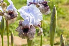 Iris Hermona, Golan Iris een wilde bloem van de Irissoort in de Oncocyclus-sectie, van de weilanden en de weiden van de Golan royalty-vrije stock foto