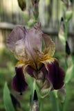 Iris hermoso foto de archivo