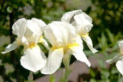 Iris hermosos. Fotos de archivo libres de regalías