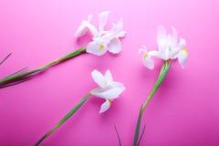 Iris hermosos en fondo rosado Imagen de archivo