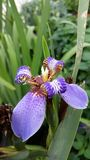 Iris hexagona Stock Photo