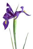 Iris hollandais pourpré contre le blanc Photographie stock