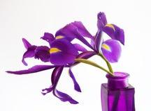 Iris hollandais pourprés dans le vase sur le blanc Photo libre de droits