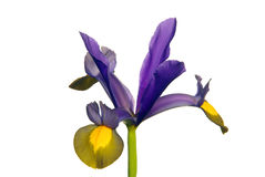 Iris hollandica Royalty Free Stock Photography