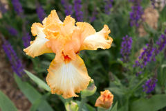 Iris i blom royaltyfri fotografi
