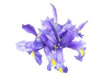 Iris i en vit bakgrund Arkivfoto