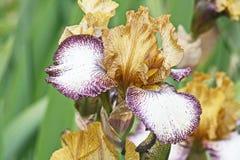 Iris i tre färger arkivfoto