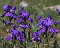 Purple Illyrian iris flowers - Latin name - Iris illyrica in nature Karst region. Iris illyrica, wild flowers in Karst near Trieste in intensive blu colours royalty free stock photo