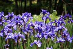 Iris im Blumen-Garten Lizenzfreie Stockbilder