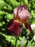 Iris im Frühjahr Stockfotos